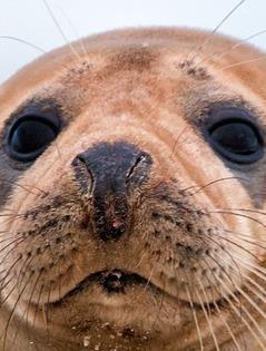 Protection des phoques de la baie de somme